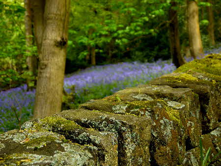 Bluebells, Hardcastle Crags